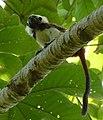 Tití (Saguinus oedipus) - Flickr - Alejandro Bayer.jpg