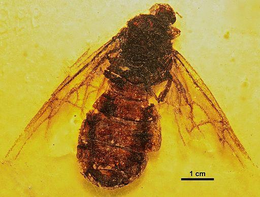 Titanomyrma gigantea SMFMEI00998