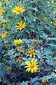 Tithonia diversifolia (11273026673).jpg