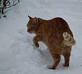 Tollender Kater im Schnee.JPG
