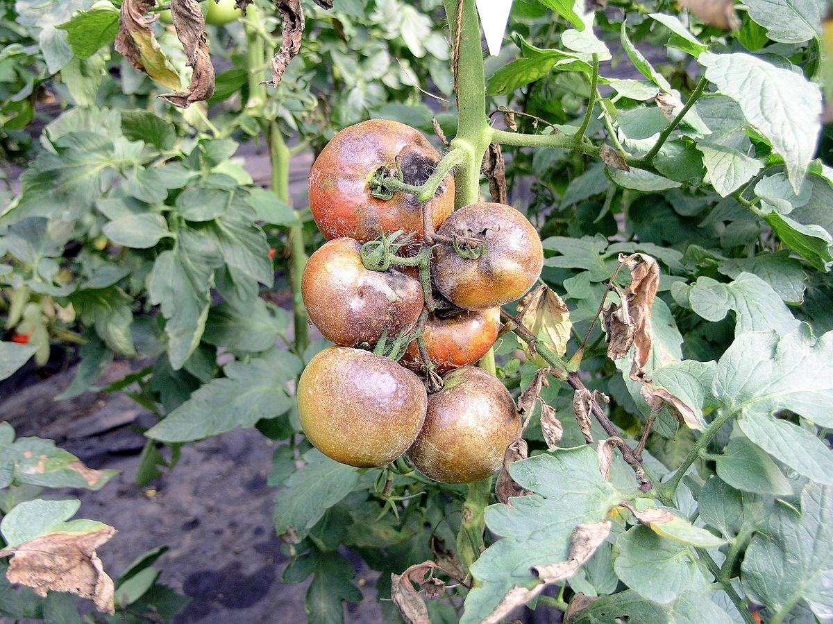 Южный фитофтороз томатов