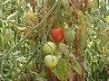 Tomatoes greenhouse Lasithi.JPG