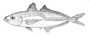 Chilean jack mackerel - The greenback horse mackerel is very similar in appearance