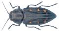 Trachypteris picta (Pallas, 1773).png