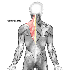 the trapezius muscle is a surface muscle of back, shown in red above and  below