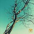 Tree in pune.jpg