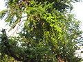 Tree kodukkay-puli.jpg