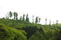 Tree tops in an Alsatian forest.jpg
