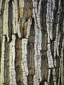 Trees in iran-qom city -پوشش گیاهی و درختان استان قم 01.jpg