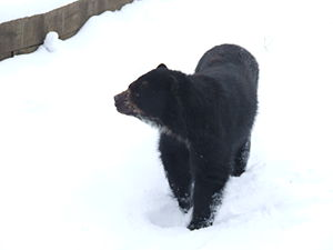 Sierra Nevada National Park (Venezuela) - The spectacled bear, an endangered species