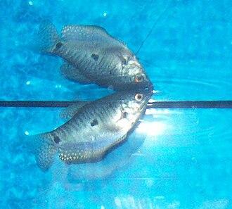 Gourami - Female three spot gourami breathing air