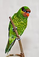 A green parrot with a red-brown area around the beak, a red-violet stripe going around the head over the eyes, and yellow-tipped feathers on the underside