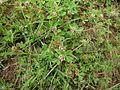 Trifolium glomeratum habit1 (10621288236).jpg
