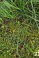 Triglochin maritimum plant (08).jpg