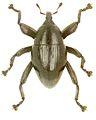 Trigonopterus punctulatus holotype - ZooKeys-280-001-g067.jpg