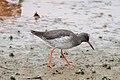 Tringa totanus -Rutland Water, Rutland, England-8.jpg
