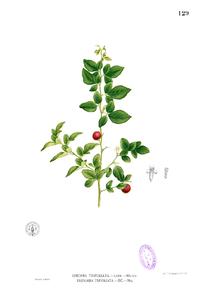 Triphasia trifolia Blanco1.129.png