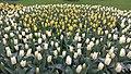 Tulip garden Keukenhof.jpg