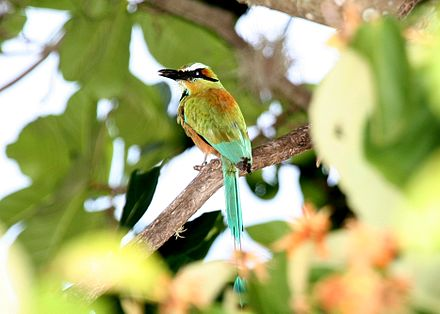 "Guardabarranco (""ravine-guard"") is Nicaragua's national bird. Turquoise-browed Motmot 2495425451.jpg"