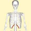 Twelfth rib frontal2.png
