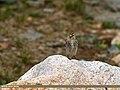 Twite (Carduelis flavirostris) (30450369712).jpg