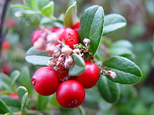 Image result for lingonberries