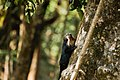 Uday Kiran Lion-tailed macaque eating portion from bark.jpg