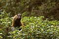 Uday Kiran Striped necked Mongoose portrait.jpg