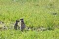 Uinta ground squirrels (15138781542).jpg