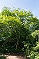 Ulmus lamellosa Hebei-Iep.jpg