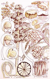 Corystospermaceae
