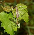 Unid. Crane Fly sp. - Flickr - S. Rae.jpg