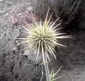Unknown plant gahkuch.jpg