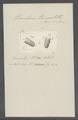 Urceolaria truncatella - - Print - Iconographia Zoologica - Special Collections University of Amsterdam - UBAINV0274 113 21 0006.tif