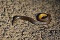 Uropeltidae RJM 7407.jpg