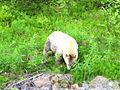 Ursus americanus kermodei, Lava Lake, BC 1.jpg