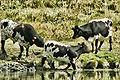 Vaches bordelaises.jpg