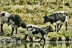 Vaches bordelaises