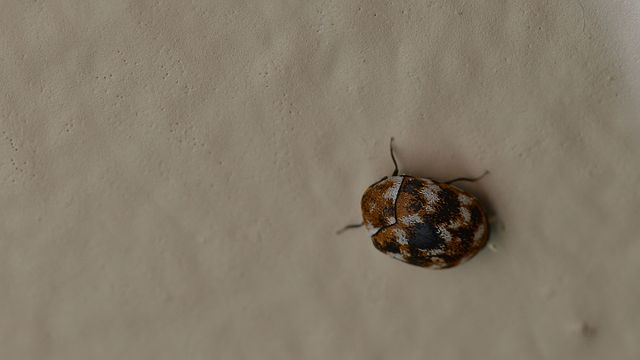 File Varied Carpet Beetle Anthrenus Verbasci London