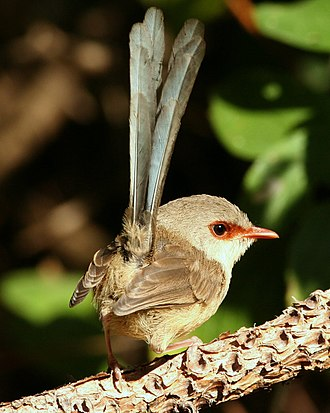 Variegated fairywren - Female (eclipse male has pale eye ring, dark face stripe)