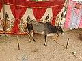 Vechur cattle-4-praba pet-salem-India.jpg