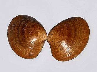 Callista (bivalve) - A shell of Callista chione