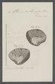 Venus callipyga - - Print - Iconographia Zoologica - Special Collections University of Amsterdam - UBAINV0274 077 12 0046.tif