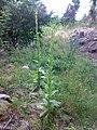 Verbascum thapsus 01.jpg