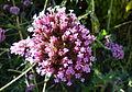 Verbena bonariensis 1.JPG