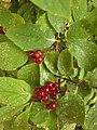 Viburnum lantana, familija Sambucaceae 04.jpg