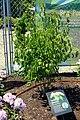 Viburnum lentago - Coastal Maine Botanical Gardens - DSC03090.jpg