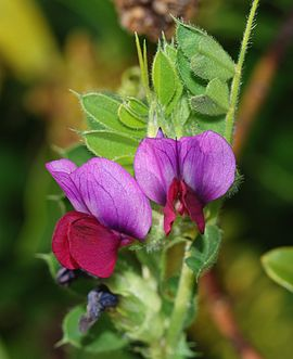 Wikke, (Vicia sativa)