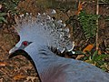 Victoria Crowned-pigeon Goura victoria (6970035614).jpg