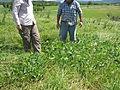 Vigna unguiculata habit11 (10737049954).jpg